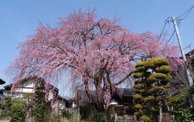 黄梅院の枝垂れ桜