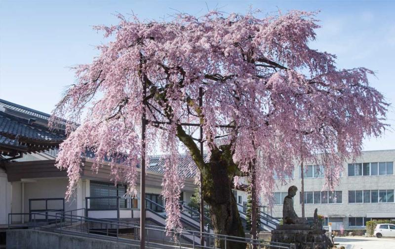 専照寺の枝垂れ桜