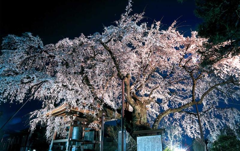 阿弥陀寺の枝垂れ桜
