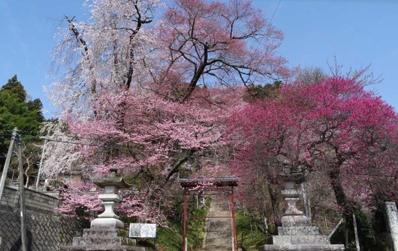 飯沼諏訪神社の石段桜