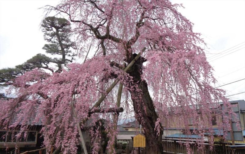 高松薬師の枝垂れ桜