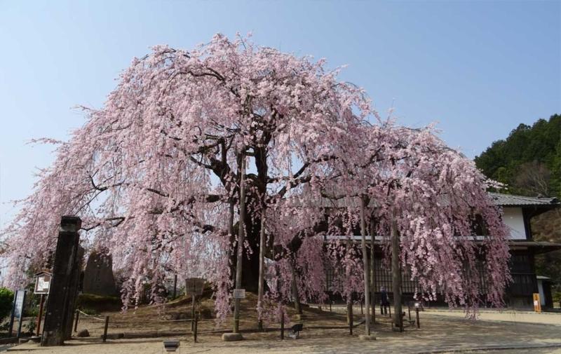 麻績の里舞台桜