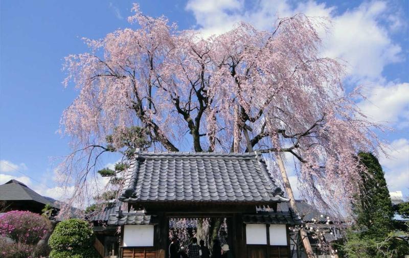 増泉寺の天蓋枝垂れ桜