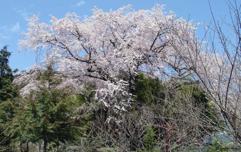 正一位光治稲荷大明神の枝垂れ桜