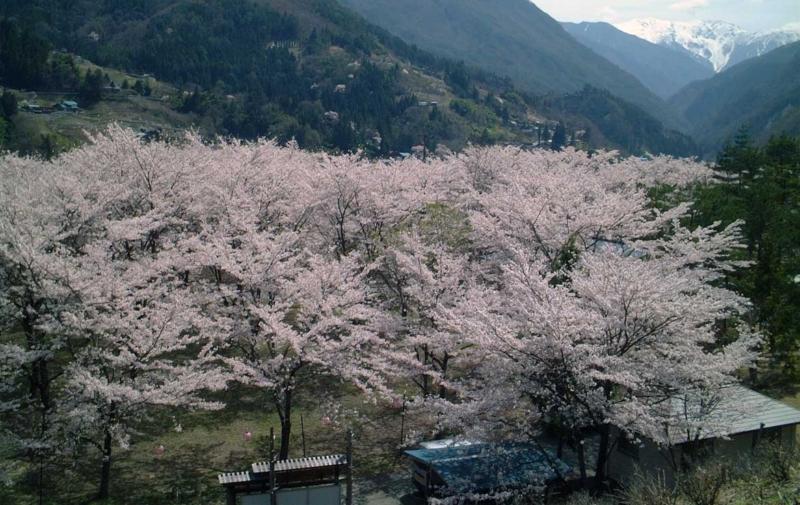 大西公園の桜群