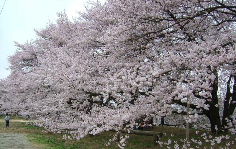 高森南小学校の桜(ソメイヨシノ)