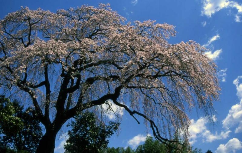 笹見平の枝垂れ桜