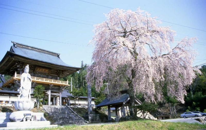 瑞光院の桜
