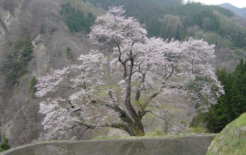 Komatsunagi / Achi